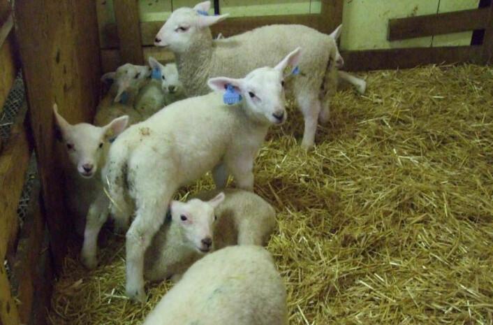 Halm er et godt og varmt underlag for nyfødte lam. Nyklipt voksen sau foretrekker også halm som liggeunderlag om vinteren. (Foto: Berit Hansen)
