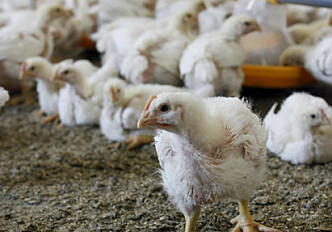 A whole-grain diet makes for healthier chickens