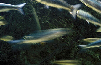 Studying fish health via genes