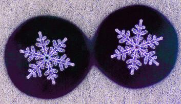 Disse krystallene ble dannet i løpet av 30-40 minutter.  (Foto: Kenneth Libbrecht)