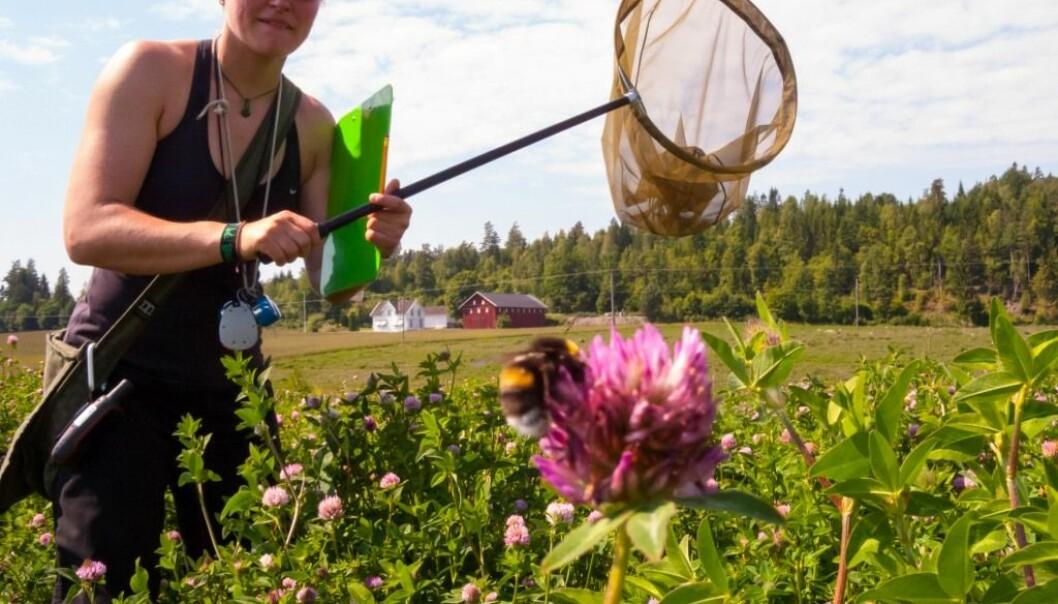Å registrere pollinerende insekter krever konsentrasjon og ferdigheter med insektnettet. Mange hundre timer med slikt arbeid ligger bak studien som forskere nå har gjort.  (Foto: Sondre Dahle)