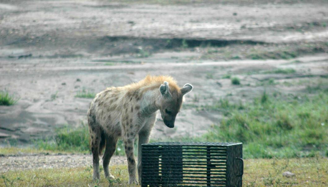 En flekkhyene får prøve seg på den mystiske boksen. Dette var en av artene som greide oppgaven.  (Foto: Sarah Benson-Amram)