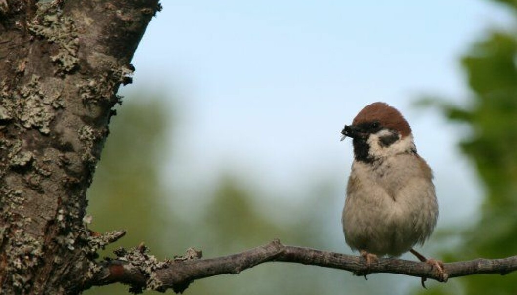 The Eurasian tree sparrow is a clever fly catcher, but not so good in traffic.  (Photo: Emma Mary Garlant)