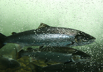 New DNA test for escaped salmon