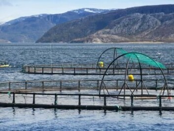 There are 350 million farmed salmon currently in Norwegian fish farms (Photo: Eugene Sergeev, Microstock)