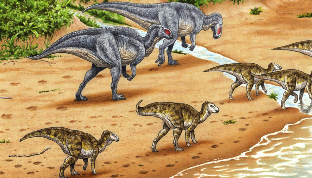 Svalbard lå på breddegraden til Trøndelag og var varmere og våtere for 123 millioner år siden. Plantespisende ornithopoder lager fotavtrykk i sanden. Fram til nå har forskerne trodd at fotavtrykkene kom fra en rovdinosaur, men de går alltid på to bein. Nå har forskerne funnet avtrykk av framføttene. Det viser at dinosaurene gikk på alle fire. (Illustrasjon: Esther van Hulsen)