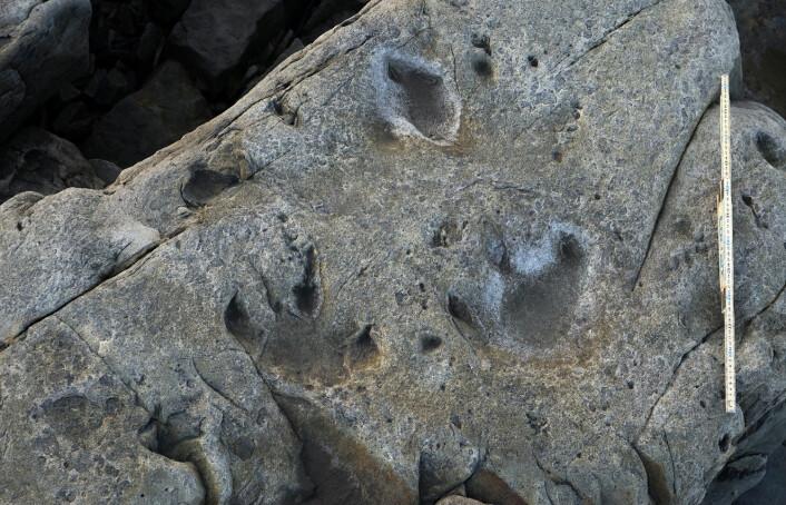 Noen av fotsporene på Boltodden, fotografert i 2014. Sporet til venstre for midten ble funnet i 1976. Legg merke til de runde framfotsporene! Tommestokken er en meter lang. (Foto: Hans Arne Nakrem, Naturhistorisk museum, Universitetet i Oslo.)