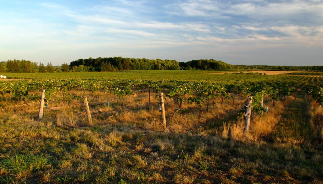 Det største permanent bevarte grønne beltet i verden finnes i Canada. Her ser vi en vingård i Niagara, som er en av grensene for beltet. (Foto: The Greenbelt Foundation)