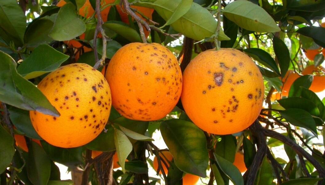Oranges infected with citrus black spot. (Photo: Antonio Vincent)