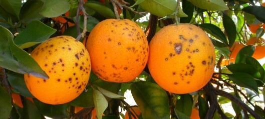 Norwegian to the rescue for Mediterranean oranges