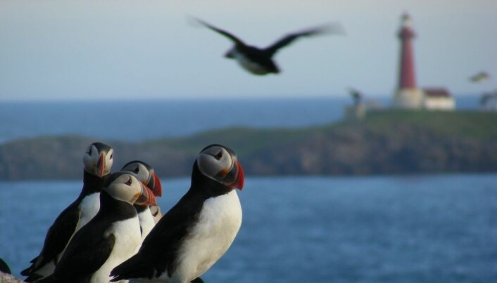 Puffin chicks die of hunger