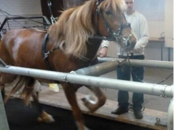 Since the disorder only occurs when the horse is exerting itself, a correct diagnosis is made while the horse is running on a treadmill. (Photo: Eric Strand)