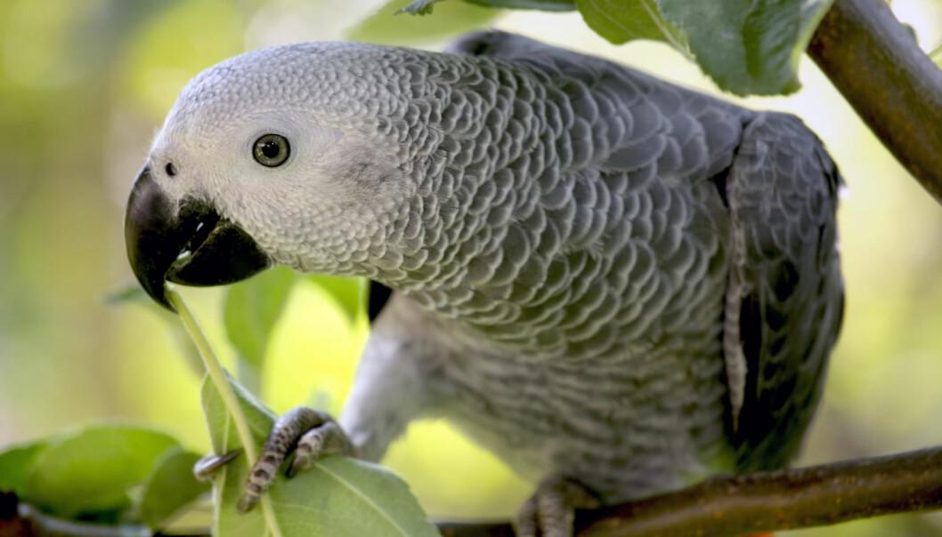 Ser stygt ut for populær papegøye
