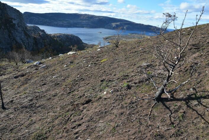 I dette utvalgte området i Flatanger er bakken totalt avsvidd, mens enkelte trær står igjen. (Foto: Per Vesterbukt, Nibio)