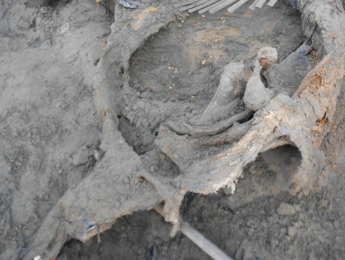 Et større bilde av kadaveret. (Foto: Pitulko et al. Science, 2016)
