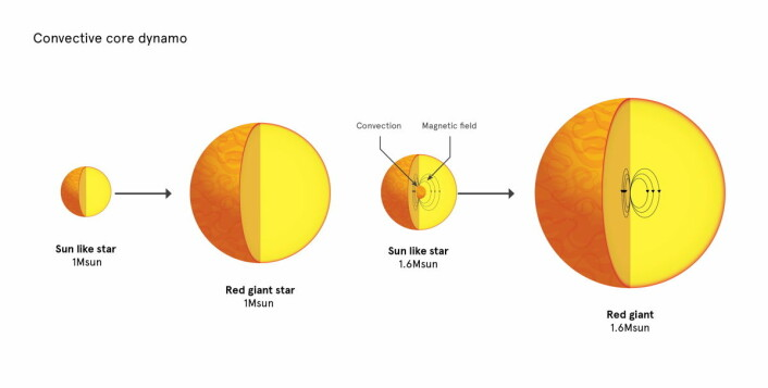 En stjerne som solen blir til en rød kjempestjerne uten et sterkt, indre magnetfelt, sannsynligvis fordi det ikke har vært der fra begynnelsen. Større stjerner blir til større røde kjemper som ofte har et kraftig indre magnetfelt.  (Foto: (Illustrasjon: University of Sydney))