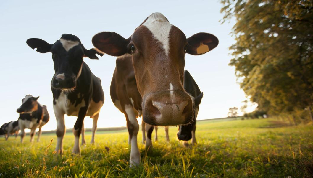 Økologisk kveg er bra for miljøet. Det er ikke like bra med økologiske griser og høner.  (Illustrasjonsfoto: Shutterstock, NTB scanpix)