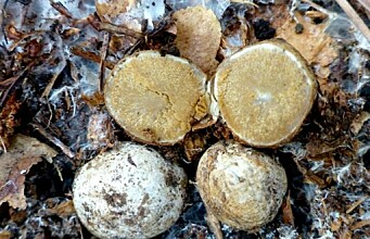 Dogs are sniffing out new species of truffles