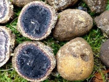 Elaphomyces decipiens, a species new to the north, found in Farsund. (Photo: Anne Molia)