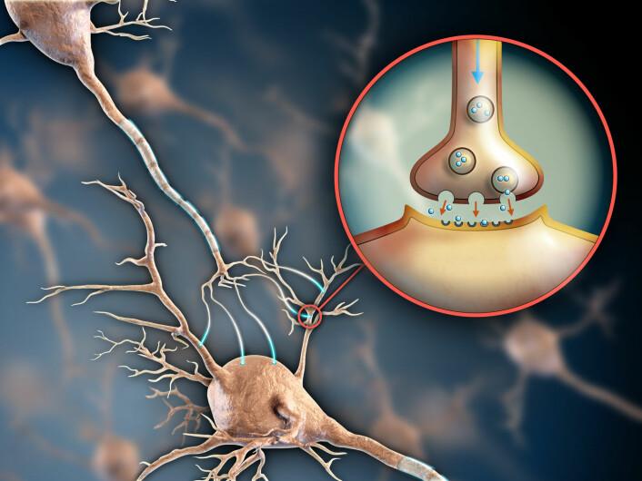 All kommunikasjon mellom hjernecellene våre foregår ved hjelp av en rekke signalstoffer som sender beskjeder til hverandre. Dopamin er et av disse signalstoffene, og er blant annet en del av belønningssystemet. Antipsykotiske medisiner blokkerer bestemte dopaminreseptorer på hjernecellene, slik at beskjeden som sendes via signalstoffet, ikke sendes videre. (Illustrasjonsfoto: Shutterstock, NTB scanpix)