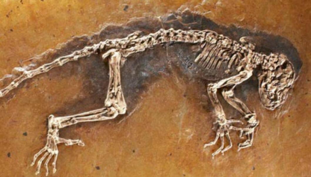 The fossil Ida (Photo: Jørn Hurum)