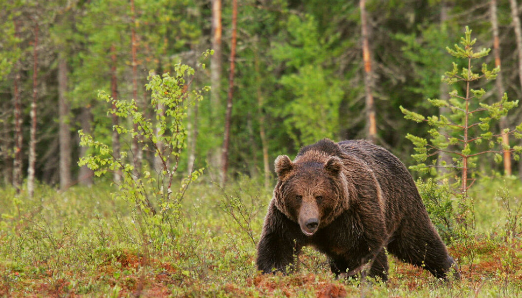 The Finnish brown bear population has probably always experienced gene flow from Russia (Photo: Alexander Kopatz, Bioforsk)