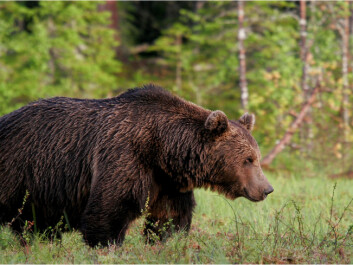 It appears the Finnish bear population is the only connection of the Scandinavian bear population to the Russian one. (Photo: Alexander Kopatz, Bioforsk)