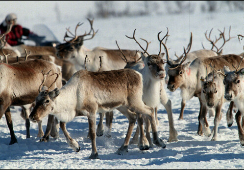 Where did Norway's reindeer come from?