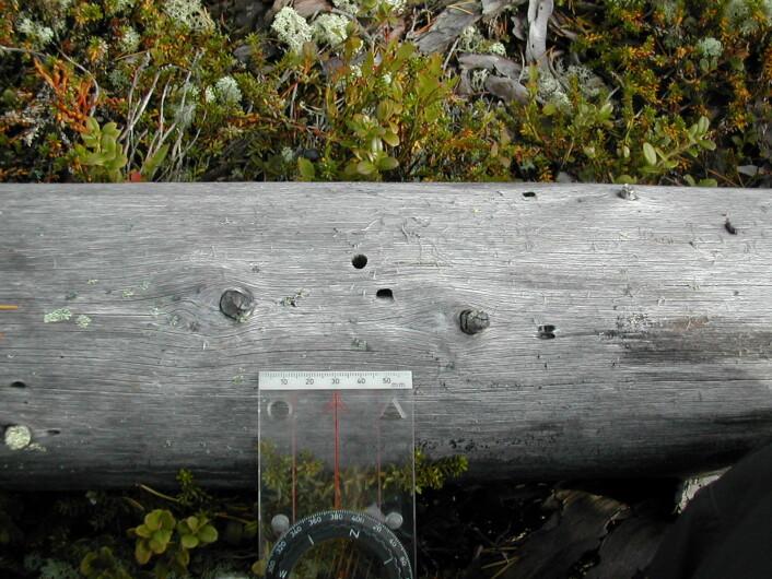 Et bie-hotell laget av vanlig furubukk. Den vokse billen har gnagd seg ut av det runde hullet. Larven har gnagd seg inn i veden i det avlange hullet. (Foto: Anne Sverdrup-Thygeson)