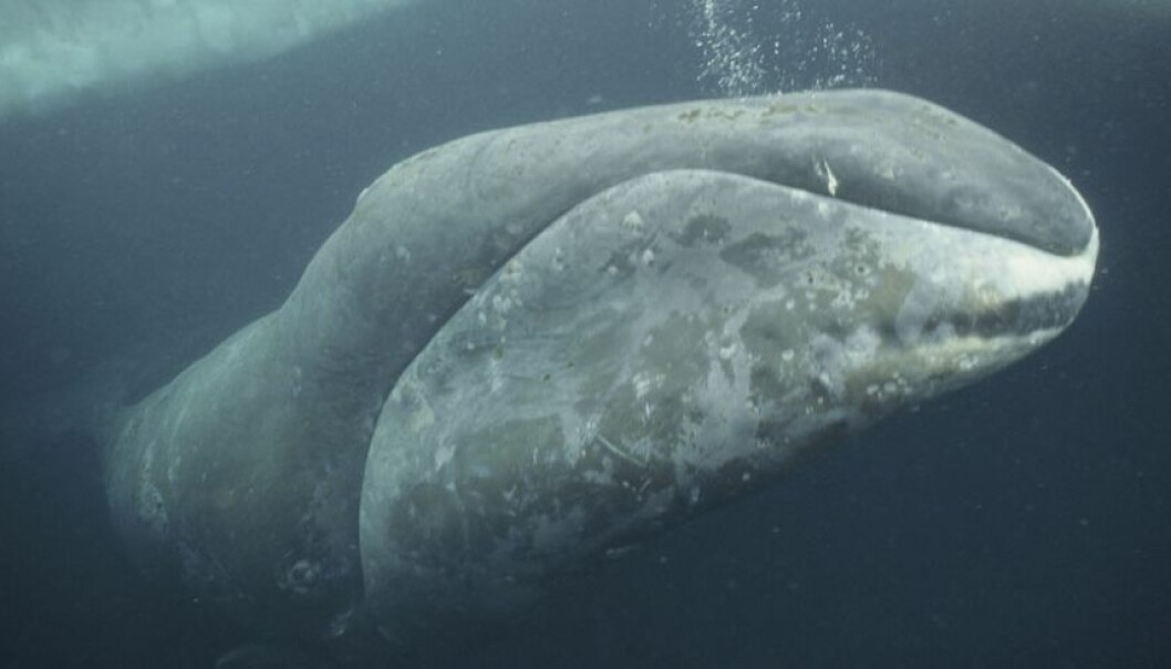 The bowhead whale was a highly sought-after species for European whalers to hunt in the 18th and 19th centuries. (Photo: Nature Picture Library)