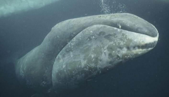 The ice retreats – whale food returns