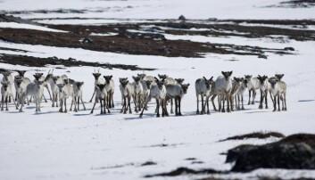 - Norge ledende innen reindriftsrettigheter
