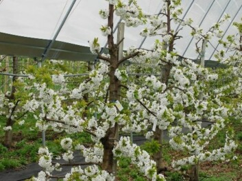 Cherry trees in blossom (Photo: Mekjell Meland)