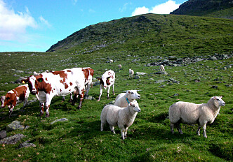 Cross-infection of foot rot between sheep and cattle