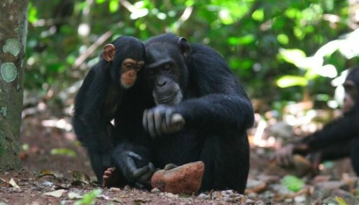 Our ancestors used ape tools