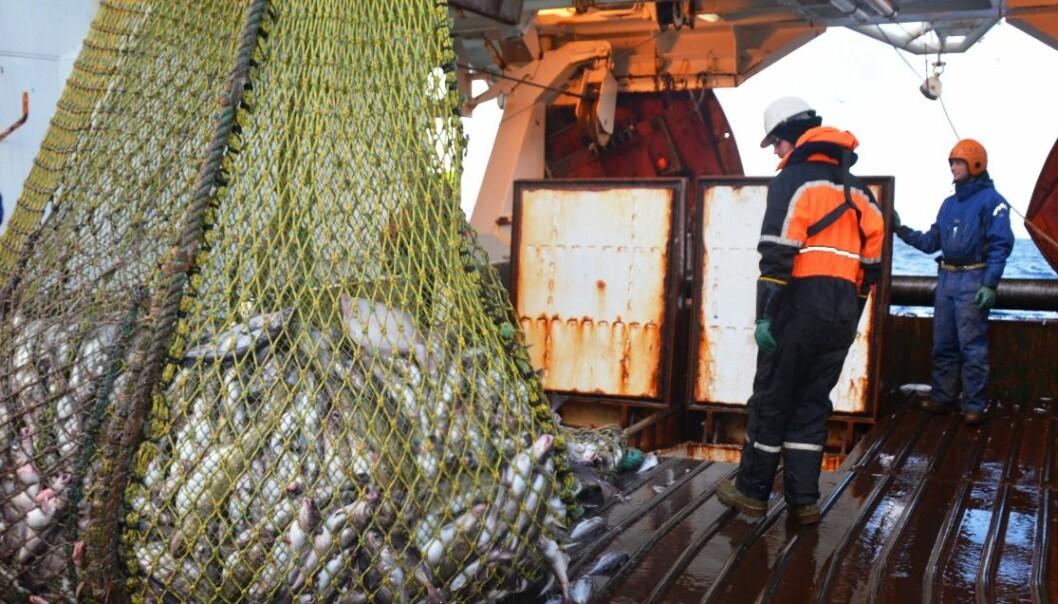 Her er forskerne på tokt i Barentshavet på tråleren Jan Mayen. Fisken som hales opp her skal rett i vanntanker med oksygentilførsel. (Foto: SINTEF)