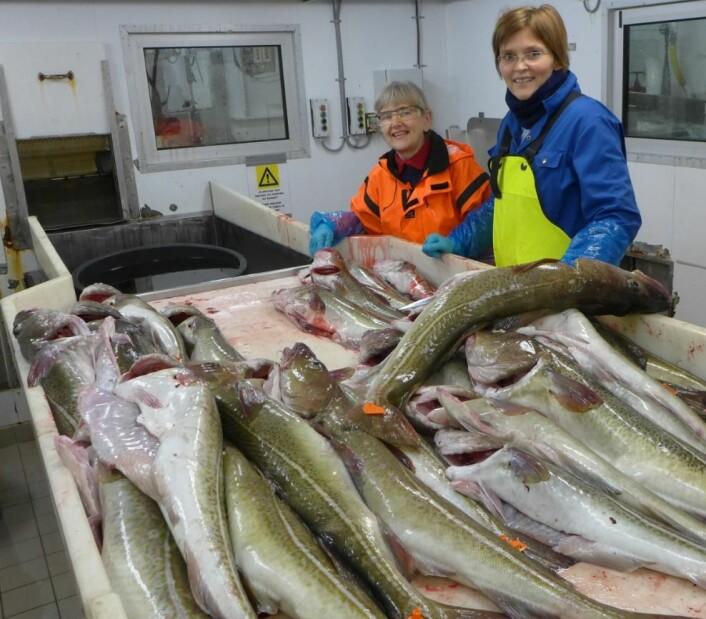 Forskerne med litt av dagens fangst. Nå skal kvaliteten på fiskekjøttet under lupen. Prosjektleder Hanne Digre til høyre. (Foto: SINTEF)