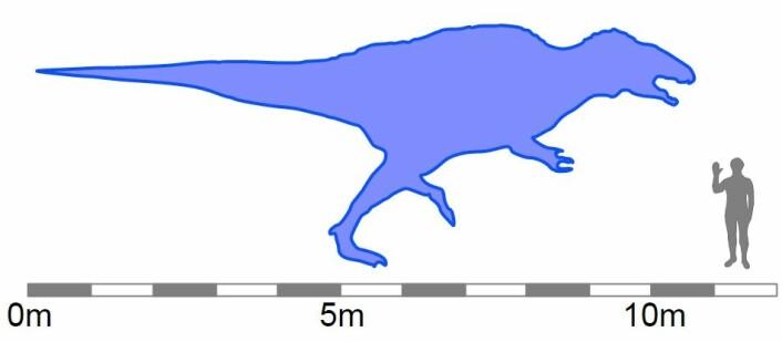 Illustrasjon av hvor stor en acrocanthosaurus kan bli.  (Foto: (Illustrasjon: Debivort/Wikimedia commons.))