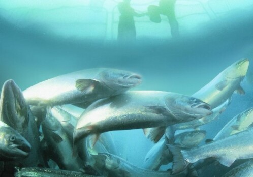 Salmon genome fully sequenced