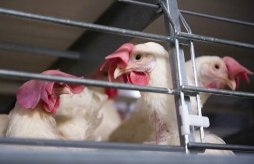 Do free-range chickens have better memory than caged chickens?