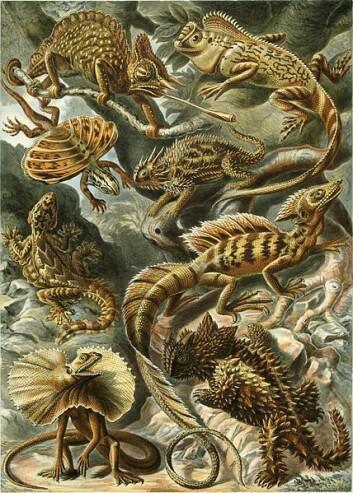 Illustrasjon av ulike typer øgler fra Haeckels bok Naturens Kunstformer. Denne typen levende illustrasjoner har nettstedet beautifulchemistry.net hentet inspirasjon fra.  (Foto: (Illustrasjon: Ernst Haeckel/wikimedia commons.))