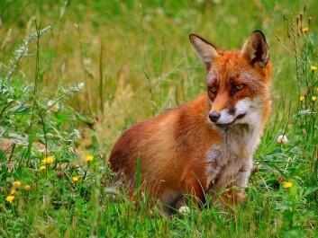 The fox is the main host of the tapeworm, which can also infect other predators such as dogs, raccoons and wolves. (Photo: Malene Thyssen / Wikipedia)