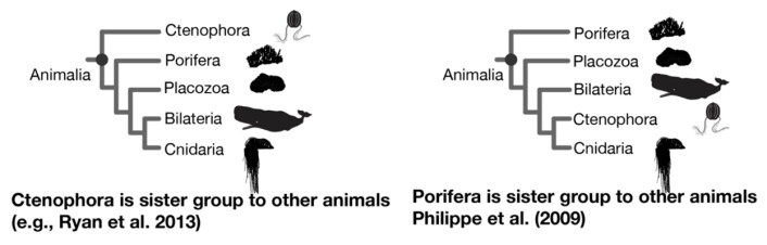 Spørsmålet er om det var ribbemanetene (Ctenophora) eller svampene (Porifera) som oppstod først av alle nålevende dyr.  (Foto: Bilde fra Dunn et. al. 2014)