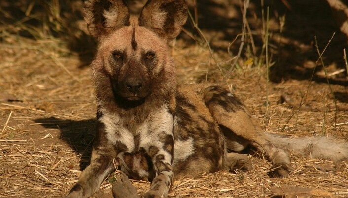 Scientist wants to save the African wild dog – with urine