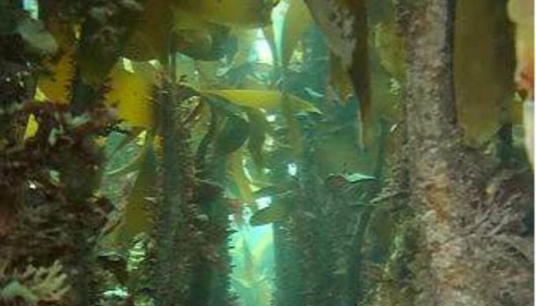 Kelp forest has a diverse flora and fauna, and creates the basis for rich fisheries along the coast. (Photo: NIVA)