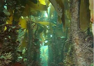 Less fish without kelp