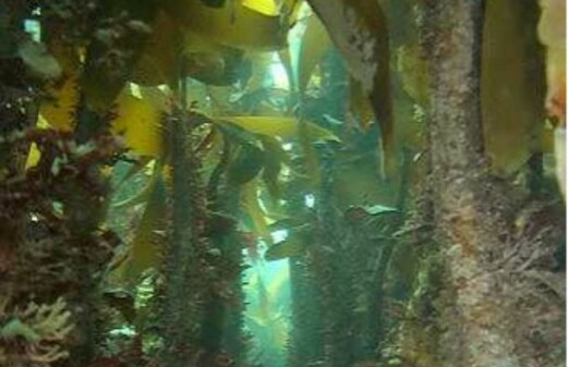 Less fish without kelp