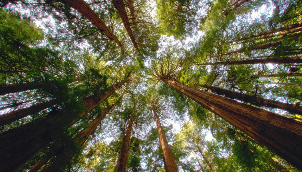 Kjempetrærne Redwood gir California både biologisk mangfold og en turistattraksjon. De er blant trærne som har blitt hardt rammet av tørke. (Foto: Shutterstock)