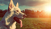 Nye funn om hundens opprinnelse
