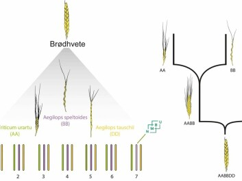 Left: Chromosomes from three closely related species of bread wheat (Brødhvete). Triticum Urartu, Aegilops speltoides, Aegilops tauschii are the closest related species to the bread wheat's three sets of chromosomes. Right: The two natural hybridizations that are the origin of bread wheat. (Illustration: NMBU)